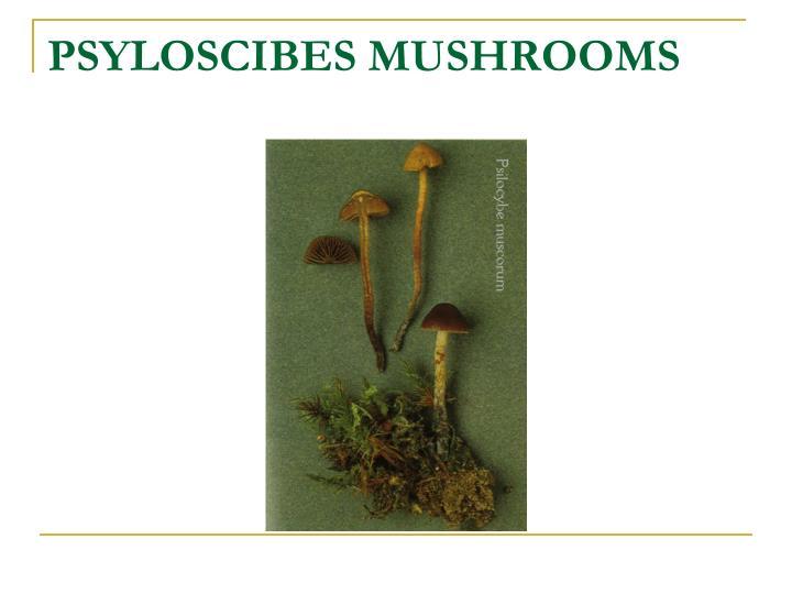 PSYLOSCIBES MUSHROOMS