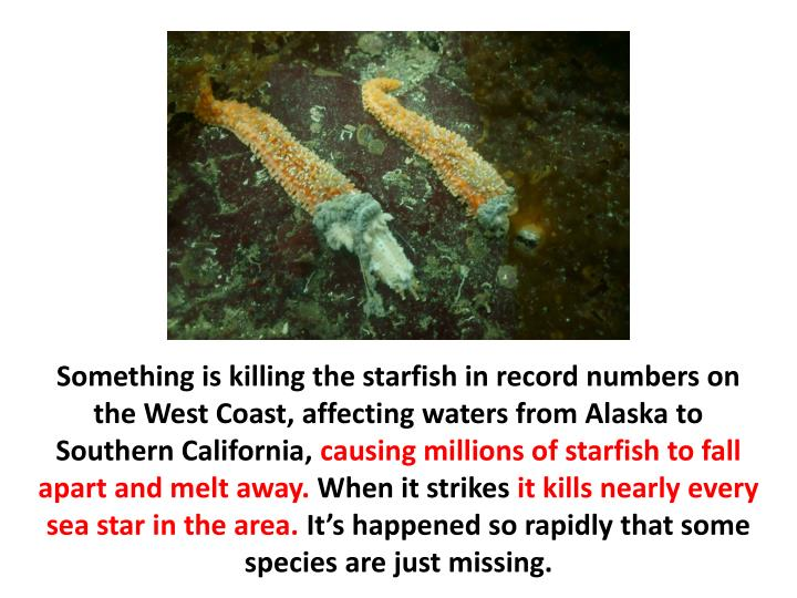 Something is killing the starfish in record numbers on the West Coast, affecting waters from Alaska to Southern California,