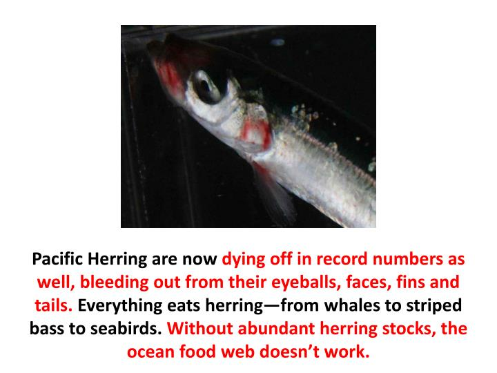 Pacific Herring are now