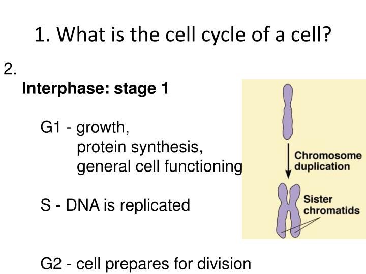 1. What is the cell cycle of a cell?