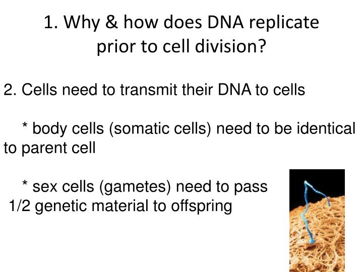 1. Why & how does DNA replicate prior to cell division?