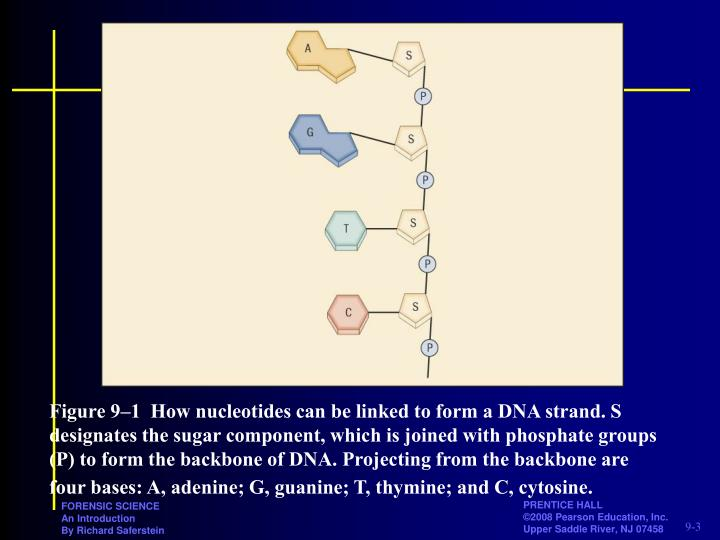 Figure 9–1How nucleotides can be linked to form a DNA strand. S designates the sugar component, which is joined with phosphate groups (P) to form the backbone of DNA. Projecting from the backbone are four bases: A, adenine; G, guanine; T, thymine; and C, cytosine.