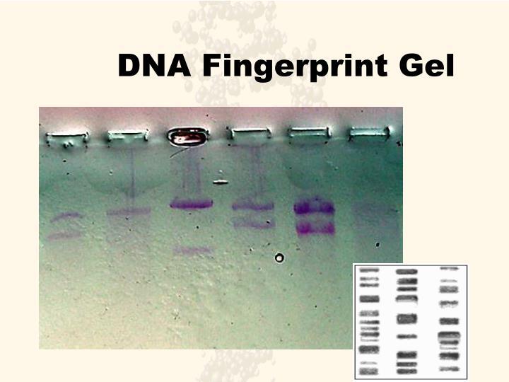 DNA Fingerprint Gel