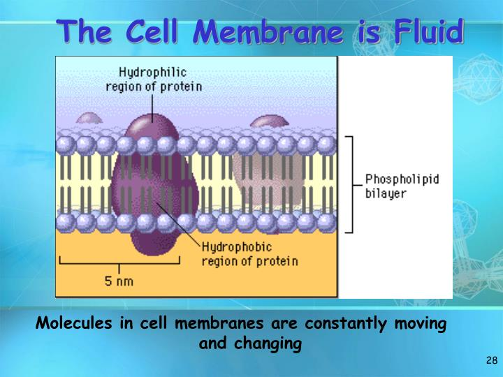 The Cell Membrane is Fluid
