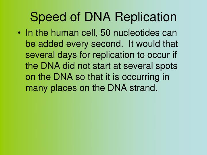 Speed of DNA Replication
