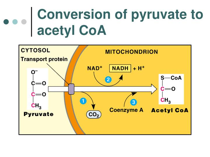 Conversion of pyruvate to acetyl CoA
