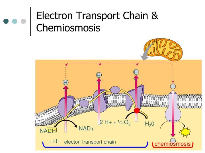Electron Transport Chain & Chemiosmosis