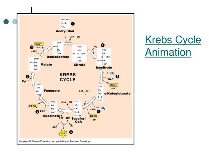 Krebs Cycle Animation