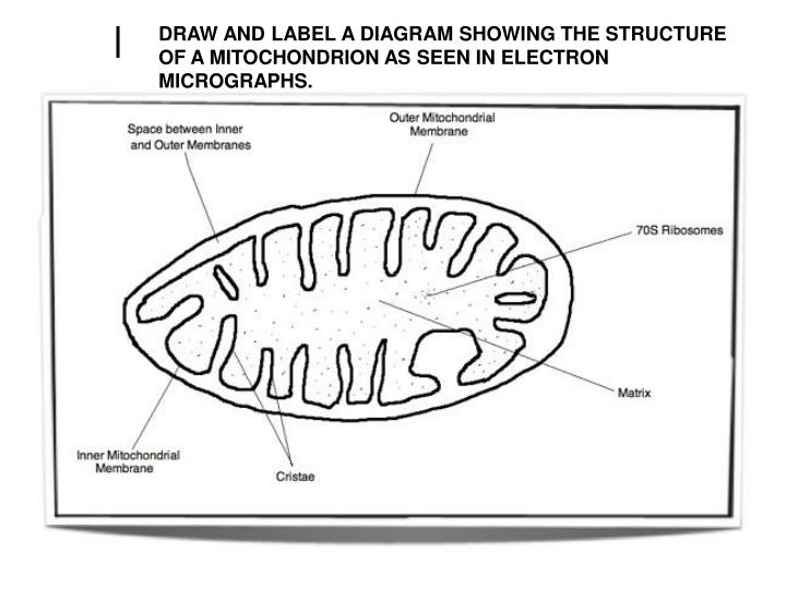DRAW AND LABEL A DIAGRAM SHOWING THE STRUCTURE OF A MITOCHONDRION AS SEEN IN ELECTRON MICROGRAPHS.