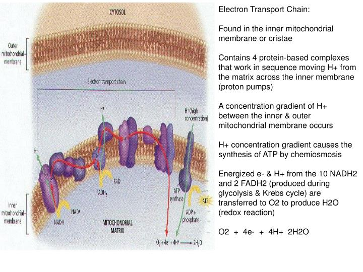 Electron Transport Chain: