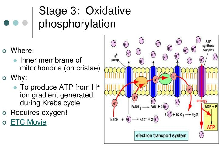 Stage 3:  Oxidative phosphorylation