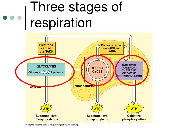 Three stages of respiration
