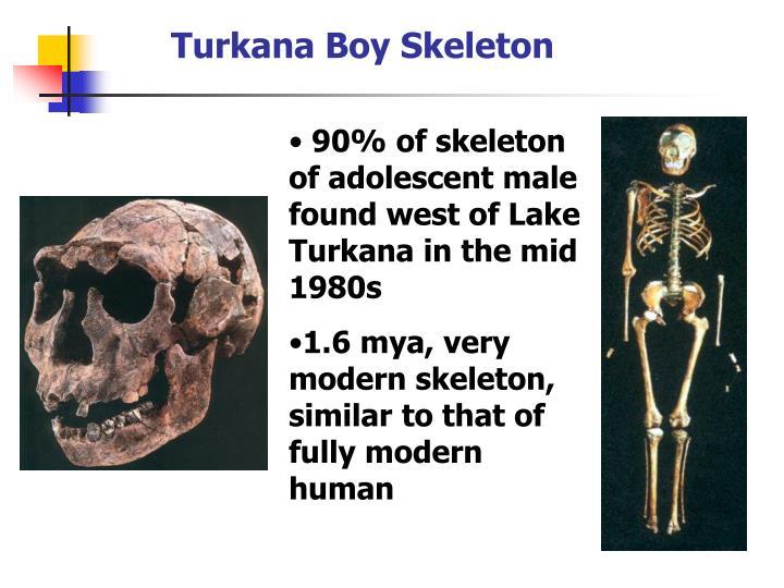 Turkana Boy Skeleton
