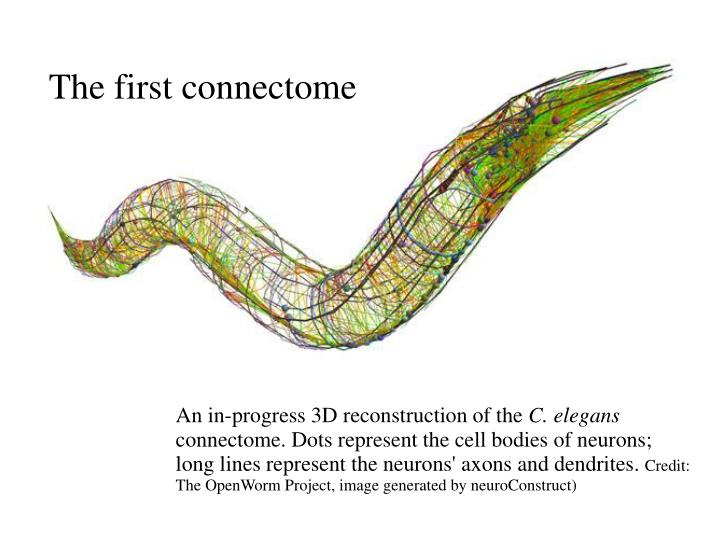 The first connectome