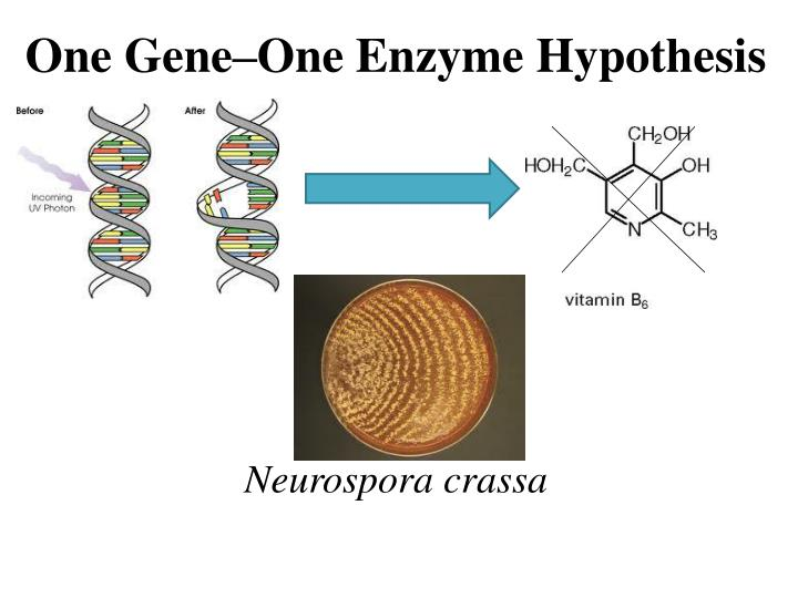 One Gene–One Enzyme Hypothesis