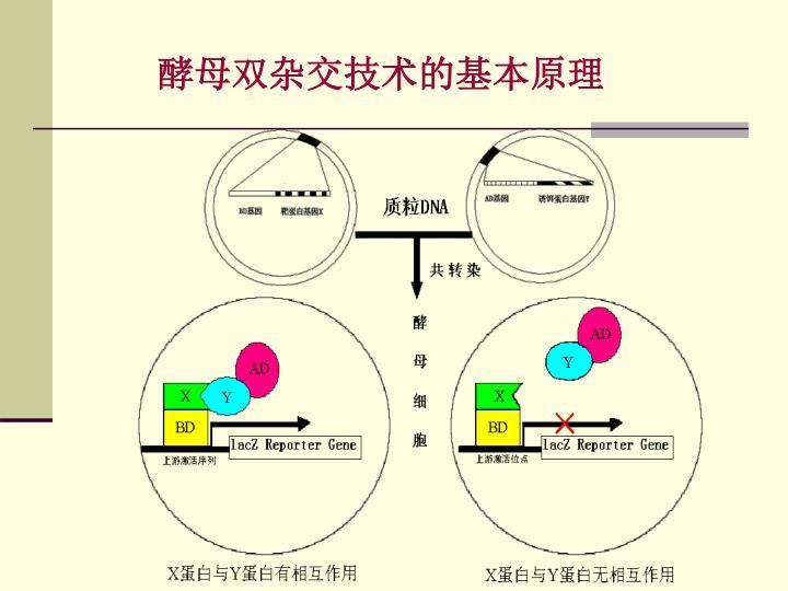 酵母双杂交技术的基本原理
