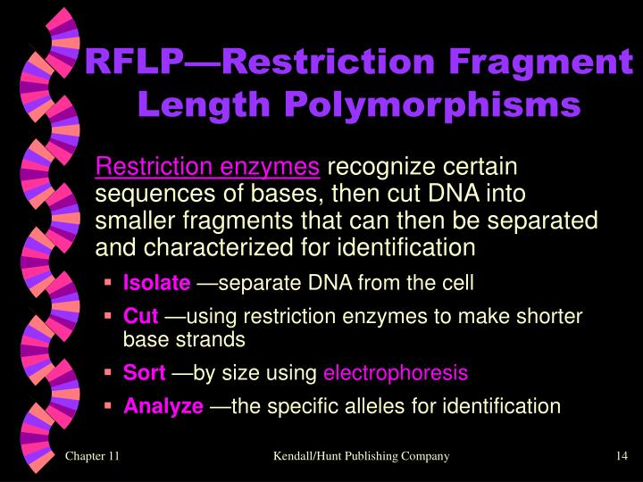 RFLP—Restriction Fragment Length Polymorphisms