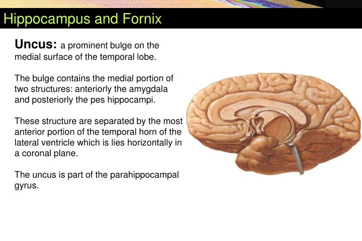 Hippocampus and Fornix
