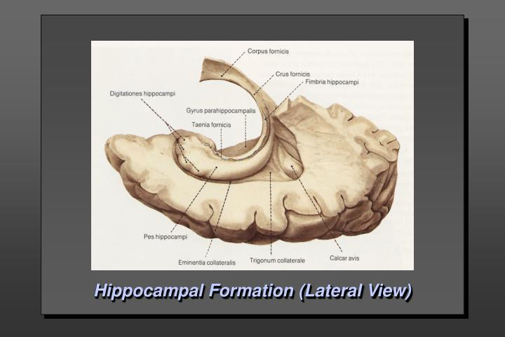 Hippocampal Formation (Lateral View)
