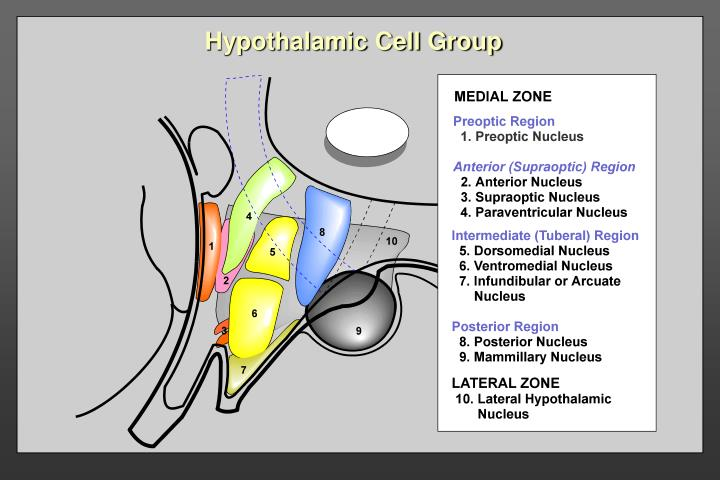 Hypothalamic Cell Group