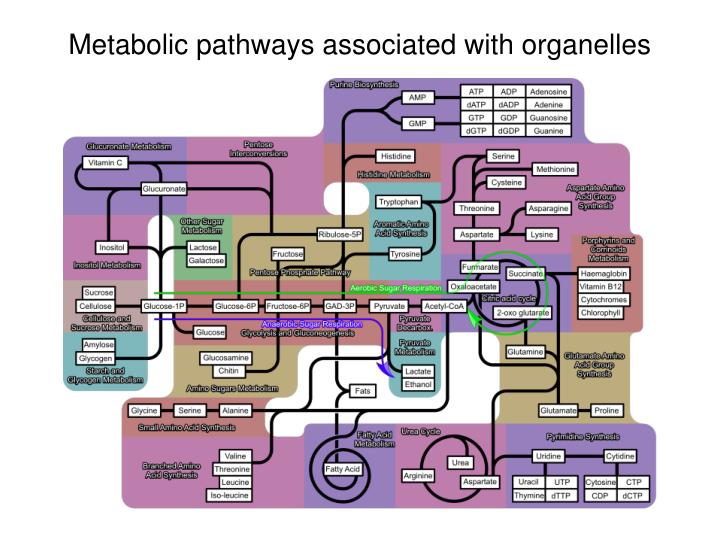 Metabolic pathways associated with organelles
