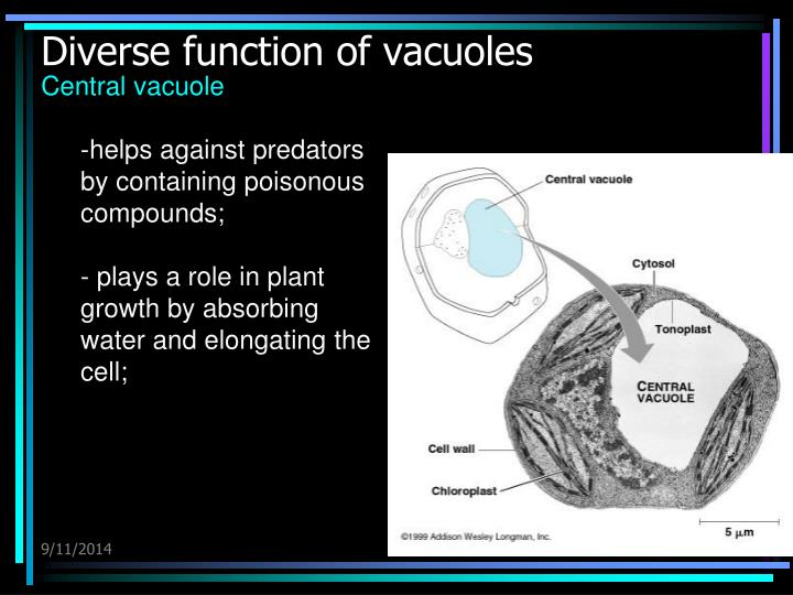 Diverse function of vacuoles