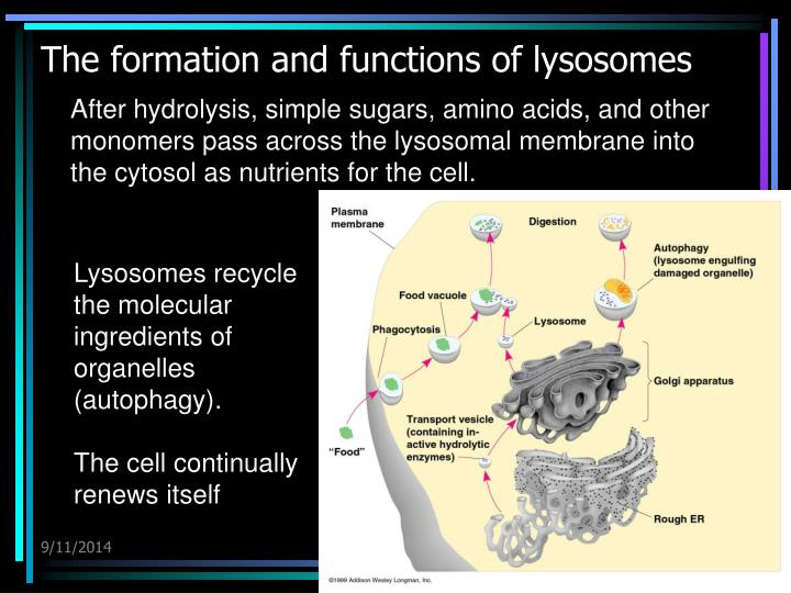 The formation and functions of lysosomes