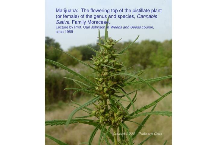 Marijuana:  The flowering top of the pistillate plant (or female) of the genus and species,
