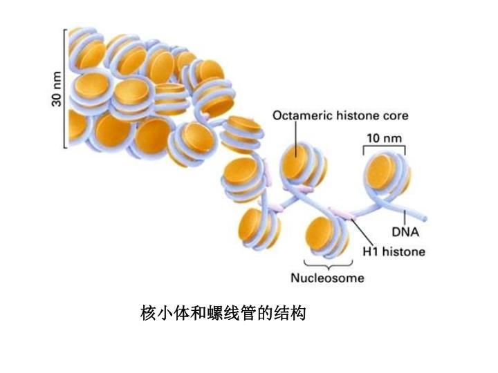核小体和螺线管的结构