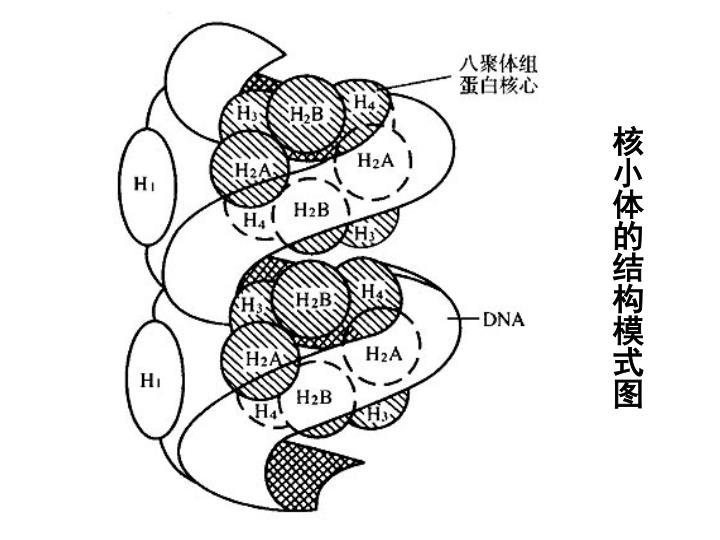 核小体的结构模式图