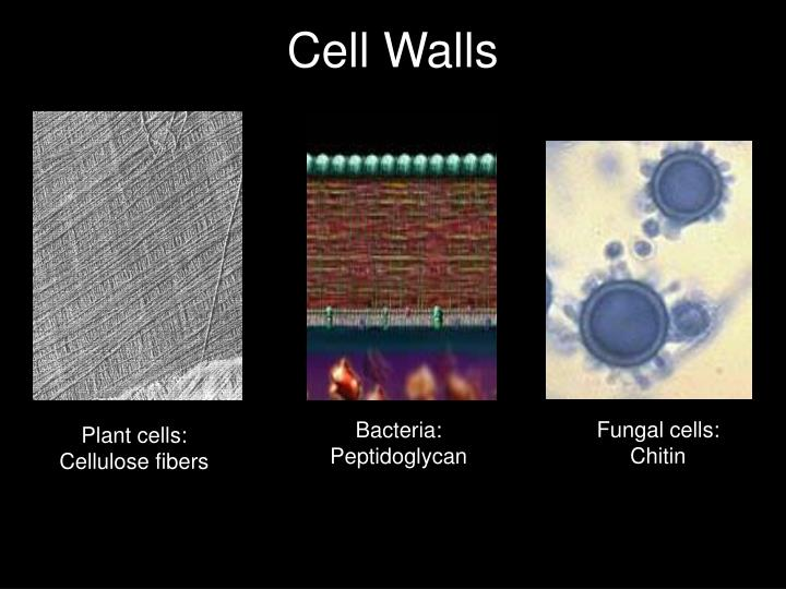 Fungal cells: