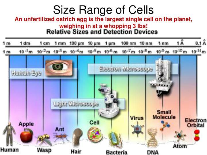 Size Range of Cells