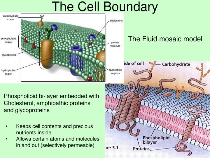 The Cell Boundary