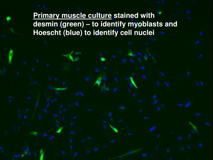 Primary muscle culture