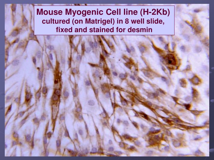 Mouse Myogenic Cell line (H-2Kb)