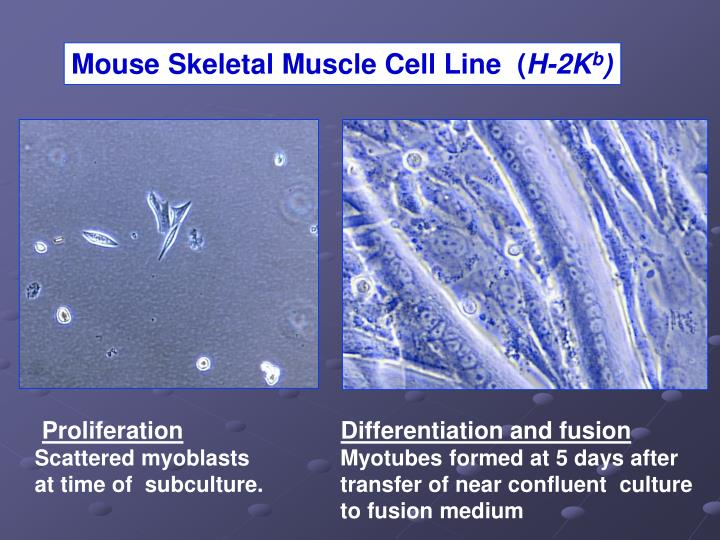 Mouse Skeletal Muscle Cell Line  (