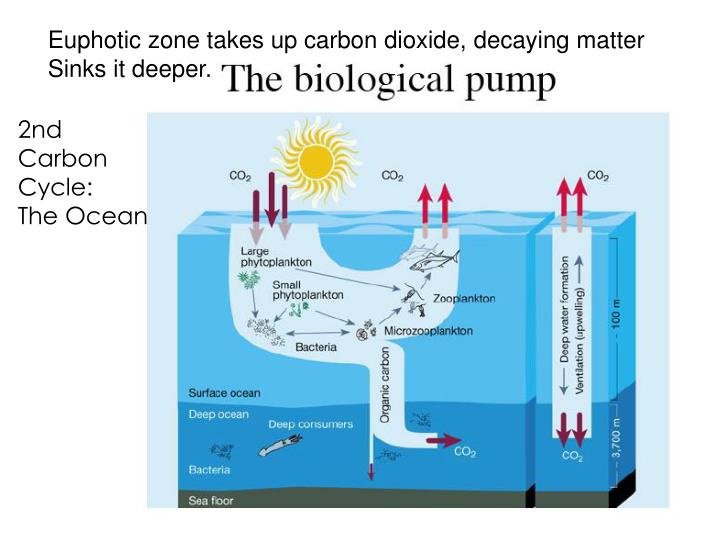 Euphotic zone takes up carbon dioxide, decaying matter