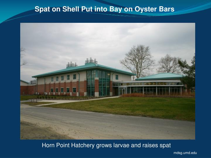 Spat on Shell Put into Bay on Oyster Bars