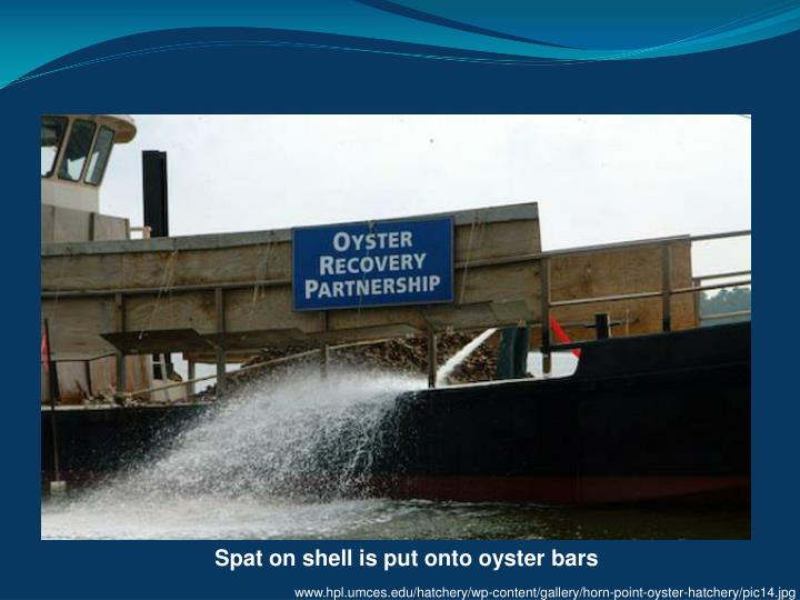 Spat on shell is put onto oyster bars