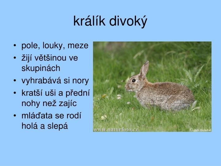 králík divoký