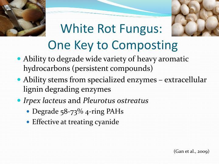 White Rot Fungus: