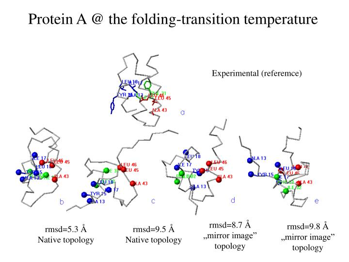 Protein A @ the folding-transition temperature