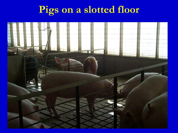 Pigs on a slotted floor
