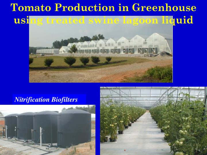 Tomato Production in Greenhouse using treated swine lagoon liquid