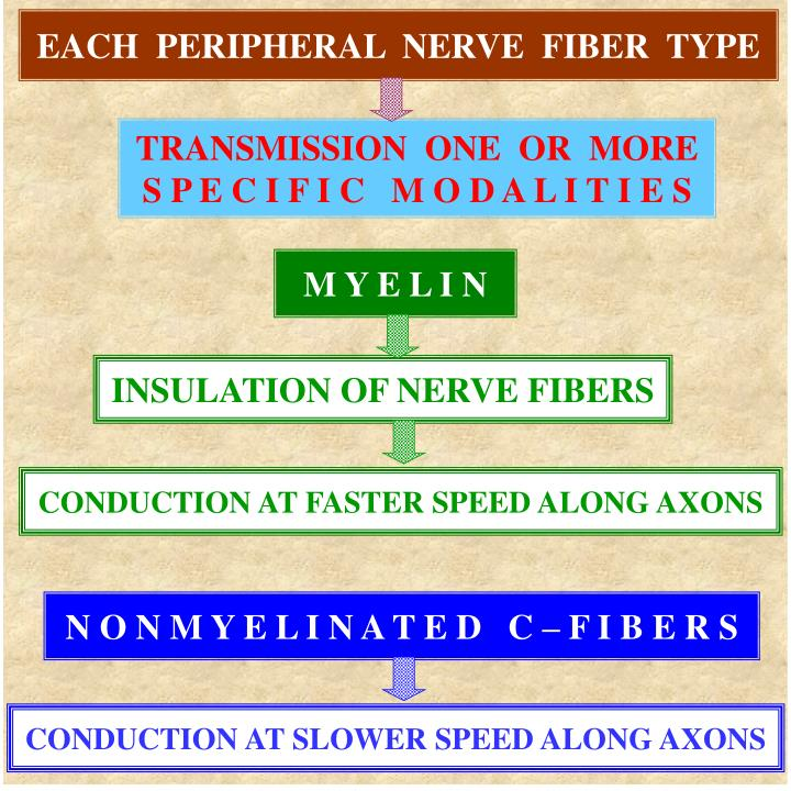 EACH  PERIPHERAL  NERVE  FIBER  TYPE