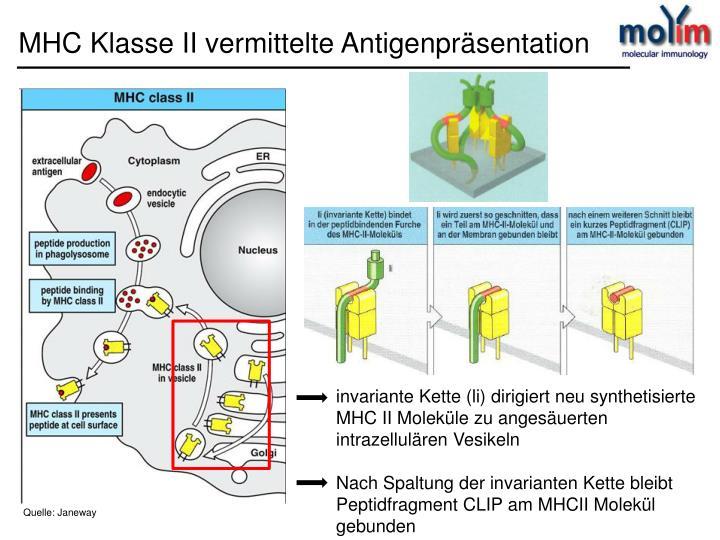 MHC Klasse II vermittelte Antigenpräsentation