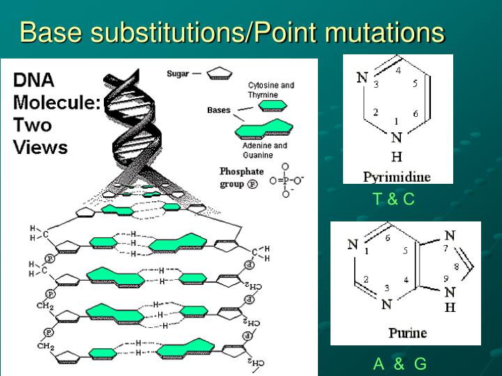 Base substitutions/Point mutations