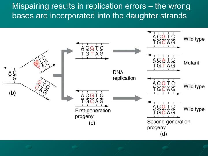 Mispairing results in replication errors – the wrong bases are incorporated into the daughter strands