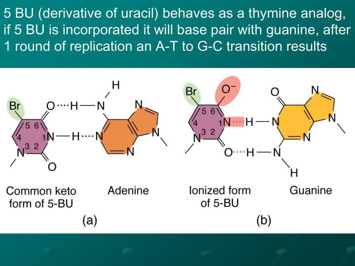5 BU (derivative of uracil) behaves as a thymine analog, if 5 BU is incorporated it will base pair with guanine, after 1 round of replication an A-T to G-C transition results