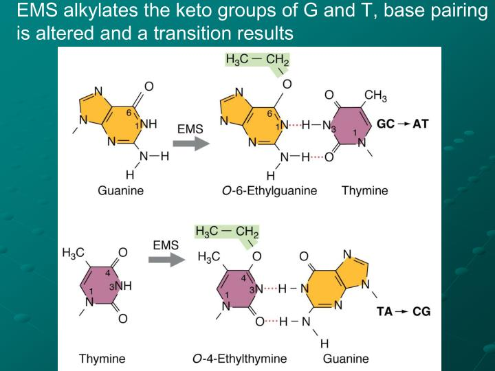 EMS alkylates the keto groups of G and T, base pairing is altered and a transition results